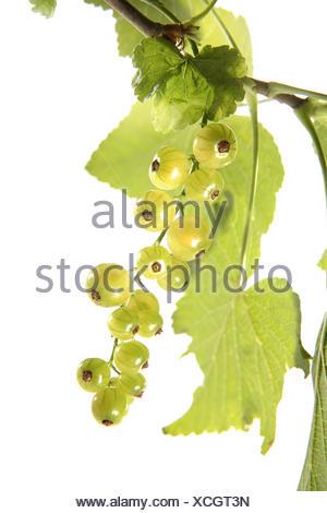 Weisse Johannisbeeren, Ribes rubrum, Obst, Fruechte, Sommerobst, Beerenobst, Beerenfruechte, Stachelbeergewaechse, Rispen, Johan - Stock Photo