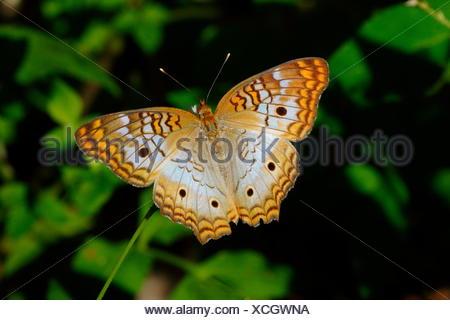A white peacock butterfly, Anartia jatrophae, feeding. - Stock Photo