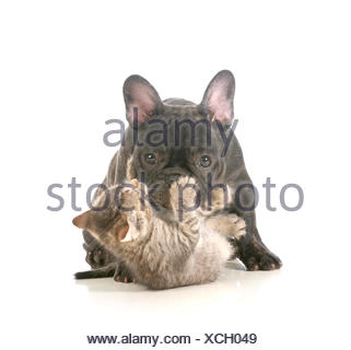 puppy and kitten playing - french bulldog puppy being attacked by a young playful kitten isolated on white background - Stock Photo