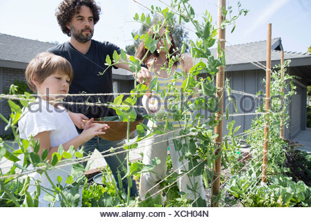 Family with one boy harvesting peas in garden - Stock Photo