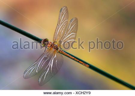 Sympetrum striolatum on the stem, two-tone background - Stock Photo