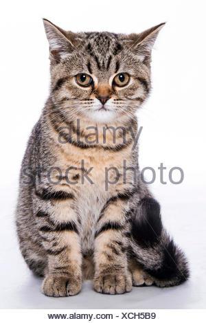 British Shorthair (Felis silvestris f. catus), sitting little striped kitten, full-length portrait - Stock Photo