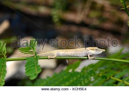 Blue-nosed Chameleon (Calumma boettgeri), female, Madagascar, Nosy Be, Lokobe Reserva - Stock Photo