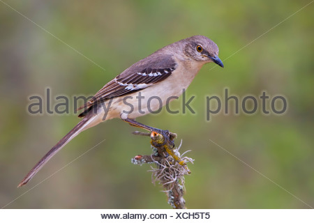Northern Mockingbird (Mimus polyglottos) perched on a branch in the Rio Grande Valley of Texas, USA - Stock Photo