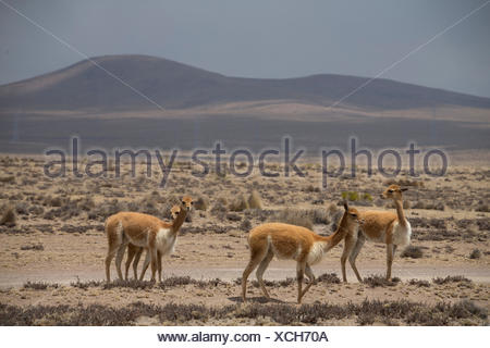 Vicunas  in the Zona de Vicunas, - Stock Photo