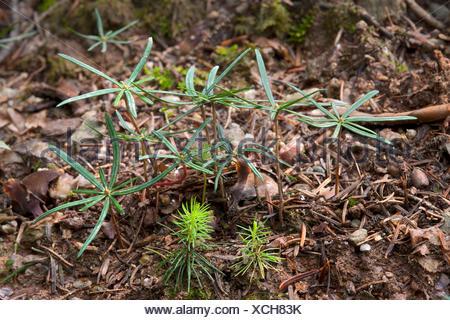 Seedlings of Norway Spruce (Picea abies), front, seedlings of Silver Fir (Abies alba), rear, Hopfgarten, Tyrol, Austria, Europe - Stock Photo