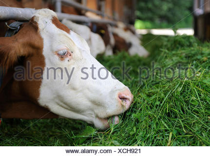 Cows in a stable eating fresh grass, Upper Bavaria, Bavaria - Stock Photo