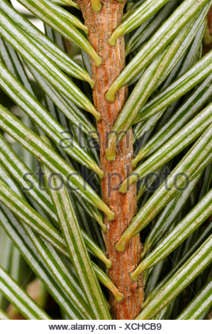 Nordman fir (Abies nordmanniana), branch, underside - Stock Photo
