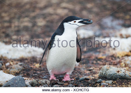A chinstrap penguin carrying a rock back to its nest in Antarctica. - Stock Photo
