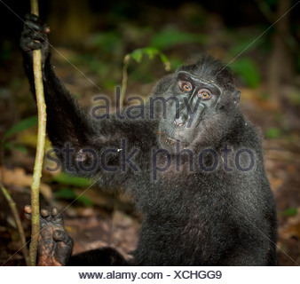 Black macaque, Sulawesi, Indonesia - Stock Photo