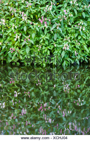 Himalayan Balsam, Impatiens glandulifera, growing by a canal. UK Stock Photo