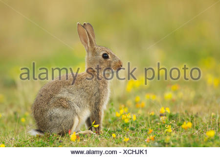 European Rabbit or Common Rabbit (Oryctolagus cunniculus), young animal with yellow flowers, Suffolk, United Kingdom - Stock Photo