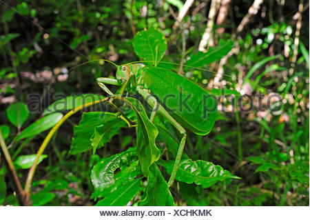 bush cricket (Stilpnochlora cf. couloniana  ), sitting on a leaves in the tropical rainforest, New Caledonia, Ile des Pins - Stock Photo