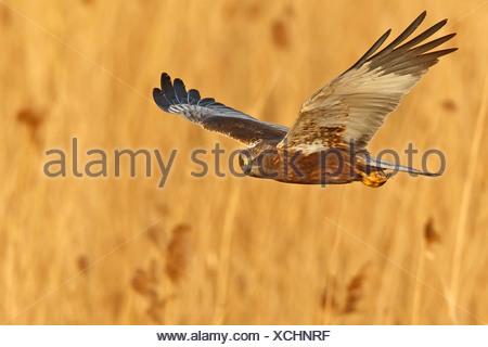 Western Marsh Harrier (Circus aeruginosus), flying above reed, Germany, Rhineland-Palatinate - Stock Photo