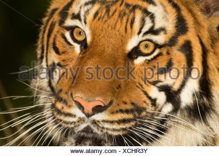 Malayan tiger, Woodland Park Zoo, Seattle, Washington. - Stock Photo