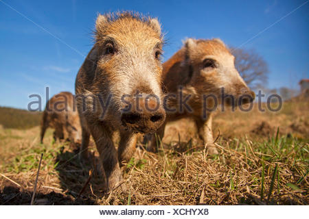 wild boar, pig, wild boar (Sus scrofa), three shotes in a meadow, Germany, Rhineland-Palatinate - Stock Photo