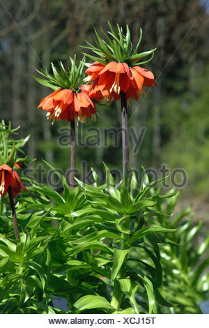 crown imperial lily (Fritillaria imperialis), blooming - Stock Photo