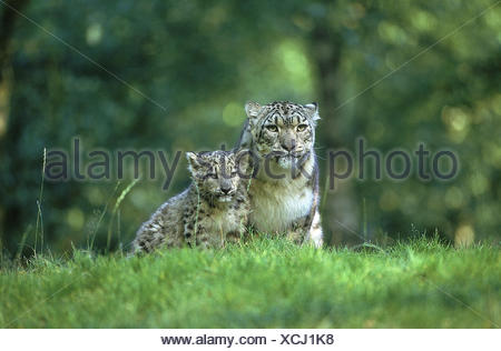 SNOW LEOPARD OR OUNCE uncia uncia, FEMALE WITH CUB - Stock Photo