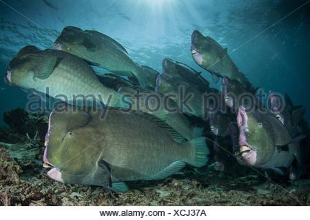 A school of humphead parrotfish, Malaysia Sipdan island (Bolbometopon muricatum) - Stock Photo