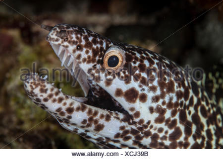 Spotted Moray Eel, Gymnothorax moringa, Turneffe Atoll, Caribbean, Belize - Stock Photo
