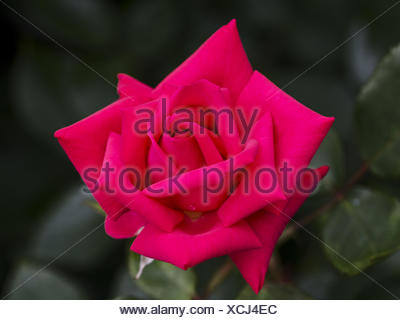 blossom of a rose Waltz King Strauss - Stock Photo