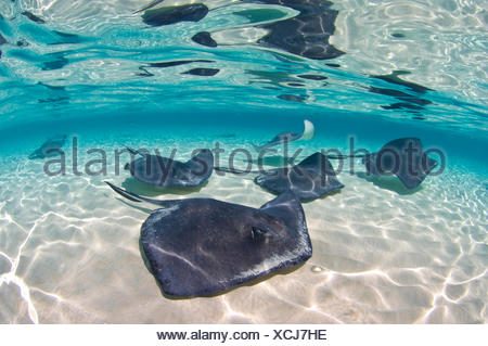 A school of Southern stingrays (Dasyatis americana) on a sand bar, Grand Cayman, Cayman Islands. British West Indies. Caribbean Sea. - Stock Photo