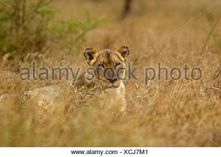 lion (Panthera leo), sleepy lioness , South Africa, Limpopo, Krueger National Park - Stock Photo