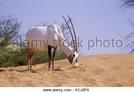 Arabian oryx standing in sand Oryx leucoryx - Stock Photo