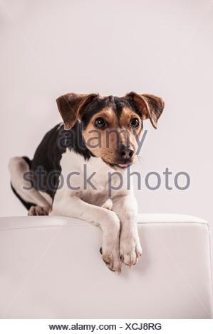 Danish Swedish Farmdog lying on a stool - Stock Photo