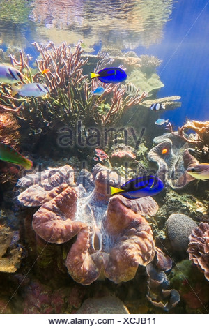 Giant Clam in Coral Reef, Tridacna gigias, Indopacific, Indonesia - Stock Photo
