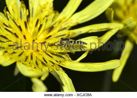 Oriental Goet's Beart, Jack-Go-To-Bed-At-Noon (Tragopogon pratensis subsp. orientalis, Tragopogon orientalis), flower with hoverfly, Switzerland - Stock Photo