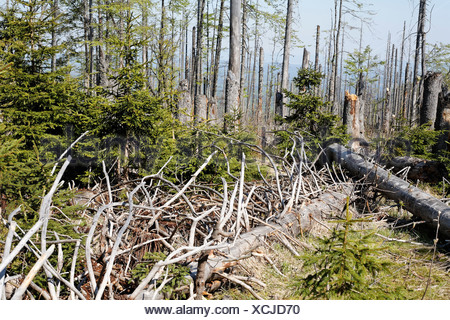 Mixed forest with dead and young spruces, regeneration, Bayerischer Wald National park, Lower Bavaria, Germany - Stock Photo