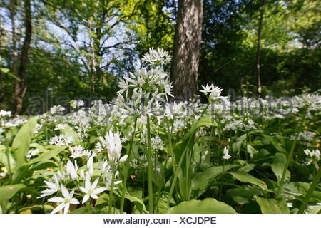 Ramsons, Wild Garlic (Allium ursinum) growing in the forest in the Taubergiessen Nature Reserve, Kappel, Baden-Wuerttemberg - Stock Photo