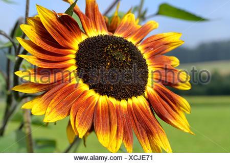 multicolored sunflower - Stock Photo