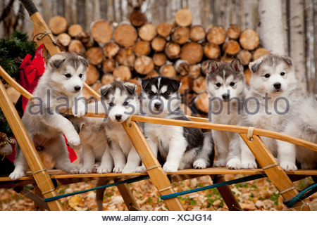 Siberian Husky puppies in traditional wooden dog sled with Christmas wreath, Alaska - Stock Photo