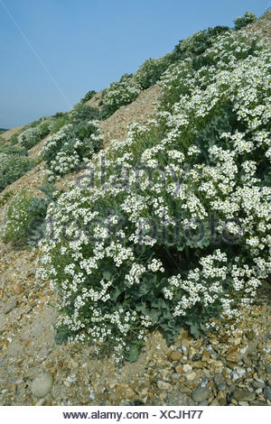 Sea Kale - Crambe maritima - Stock Photo