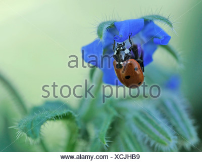 A  ladybird on a borage flower, by a borage leaf - Stock Photo