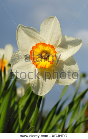 Daffodil flower (Narcissus) - Stock Photo