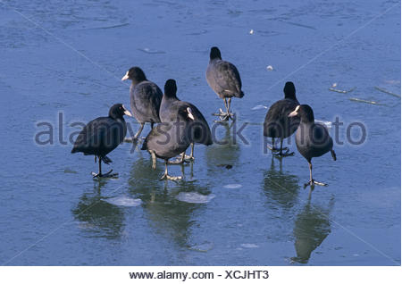 Coots rest on the frozen surface of the Baltic Sea - Stock Photo