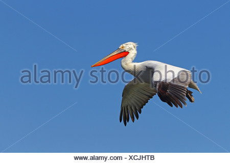 Dalmatian pelican (Pelecanus crispus), flying, breeding plumage, Greece, Kerkinisee - Stock Photo