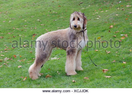 Afghan hound dog standing in a meadow, Germany - Stock Photo
