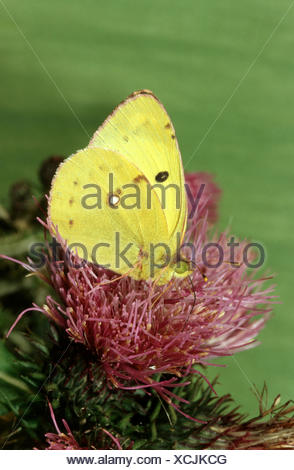 Pale Clouded Yellow (Colias hyale), imago on cornflower, Germany - Stock Photo
