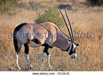 Gemsbok, oryx gazella, Central Kalahari Game Reserve, Botswana, Africa - Stock Photo