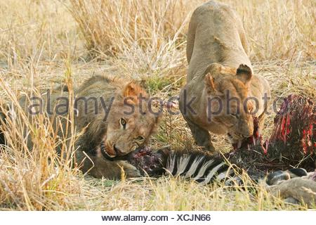 eating lions - Stock Photo