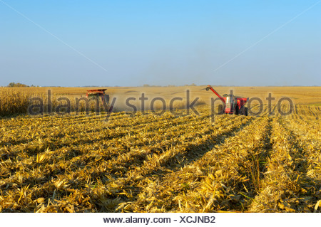 A combine harvests a crop of grain corn in a large grain field, with a grain cart running alongside nearby / Iowa, USA. - Stock Photo