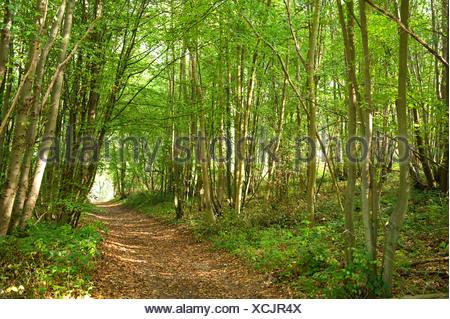Path through Woodland Ranscombe Farm Nature Reserve Kent UK Silver Birch Betula pendula glade walkway green - Stock Photo