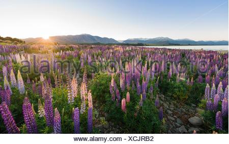 Sun shining through purple Large-leaved lupines (Lupinus polyphyllus), sunrise, Lake Tekapo, Canterbury region, Southland - Stock Photo