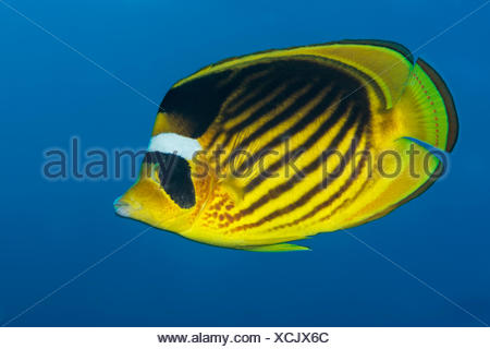 Raccoon Butterflyfish, Chaetodon fasciatus, Elphinstone Reef, Red Sea, Egypt - Stock Photo