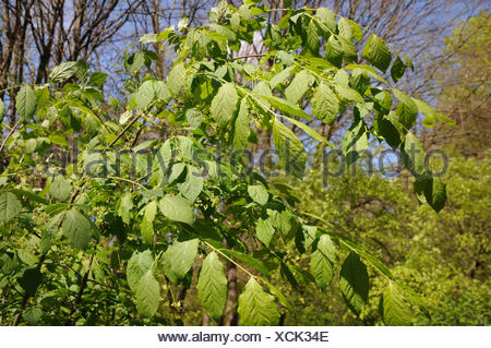 Euonymus latifolius, Largeleaved Spindle - Stock Photo