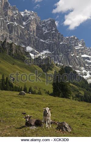 Calves on an alpine pasture, Uri, Switzerland - Stock Photo